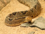 Another from the Transvaal snake park